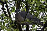 Wood Pigeon resting in tree, Columba palumbus