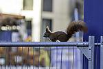 Eurasian Red Squirrel on hoarding; Sciurus vulgaris