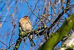 Chaffinch male, Fringilla coelebs
