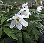 flowering Wood Anemone, Anemone nemorosa