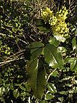 flowering Mahonia, Mahonia aquifolium