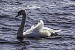 Mute Swan on lake Alster, Cygnus olor