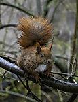 Eurasian Red Squirrel in rain; Sciurus vulgaris