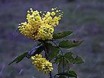 Mahonia in rain; Mahonia aquifolium