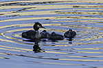 Great Crested Grebe and chicks; Podiceps cristatus