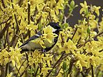 Great Tit in flowering Forsythia, Parus major, Forsythia x intermedia