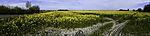 Rape field in norrthern Germany
