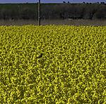 Blaukehlchen im Rapsfeld, Luscinia svecica