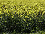 flowering Rape field, Brassica mapus