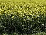 blühensdes Rapsfeld, Brassica napus