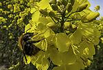 Dunkle Erdhummel an Rapsblüte, Bombus terrestris, Brassica napus