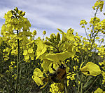 Large Earth Bumblebee on Rape, Bombus terrestris, Brassica napus