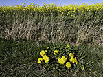 flowering Dandelion and Rape field, Taraxacum sp., Brassica mapus
