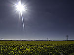 blooming Rape field and sun, Brassica napus