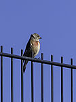 Common Linnet on fence, Acanthis cannabina