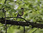 Chaffinch singing in tree, Fringilla coelebs