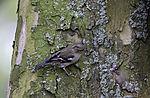Chaffinch looking for food, Fringilla coelebs