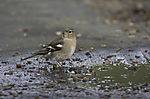 Chaffinch at puddle, Fringilla coelebs