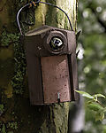 Great Tit leaving nesting box, Parus major
