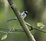 Great Tit with food for chicks eye contact, Parus major