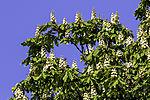 flowering Chestnut, Aesculus sp.