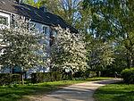 flowering Apple trees in town
