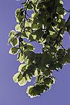 Beech tree in spring, Fagus sp.