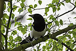 Magpie on tree, Pica pica