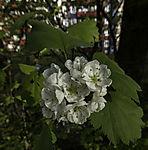 Hawthorn, Crataegus sp.