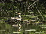Great Crested Grebe on nest, Podiceps cristatus