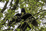 Carrion Crow uses wings, Corvus corone