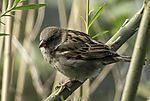 House Sparrow female, Passer domesticus