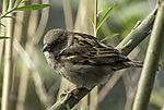 House Sparrow female, Passer domesticus