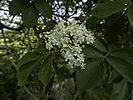 early flowering Elder, Sambucus