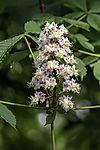 Horse Chestnut blossom, Aesculus hippocastanum