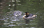 Great Crested Grebe and chicken begging; Podiceps cristatus