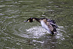 Great Crested Grebe shaking; Podiceps cristatus
