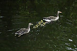 Geylag Geese family in water, Anser anser
