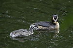 Great Crested Grebe chick begging; Podiceps cristatus