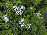 Sweet Wood Ruff; Galium odoratum