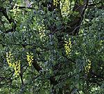 flowering Golden Chain, Laburnum anagyroides