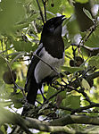 Magpie in tree, Pica pica