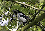 Magpie with nesting material, Pica pica