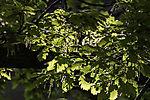 flowering Oak tree, Quercus sp.