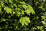 Norway Maple leaves backlit, Acer platanoides