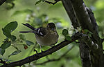 Chaffinch with nesting material, Fringilla coelebs