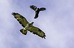 Carrion Crow attacks Common Buzzard, Corvus corone, Buteo buteo