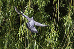 Wood Pigeon flies in bush; Columba palumbus