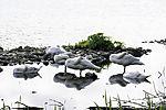 Mute Swans sleeping, Cygnus olor
