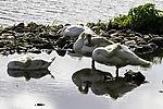 Mute Swans sleeping and grooming, Cygnus olor